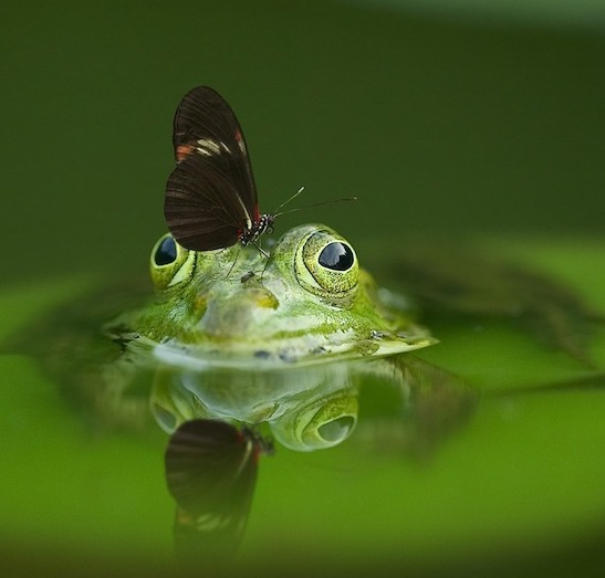 butterfly on frog